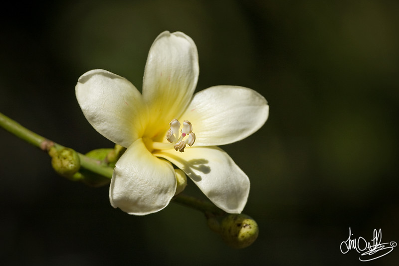 White Silk-floss tree flower