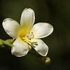 White Silk-floss tree flower