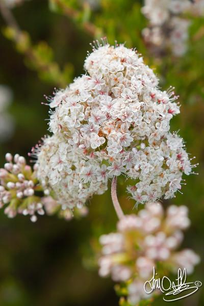 California Buckwheat flowers