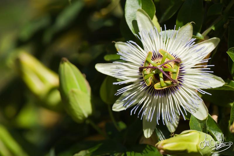 Wild Passion Flower<br /> Huntington Beach, CA