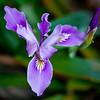 California Wild Iris