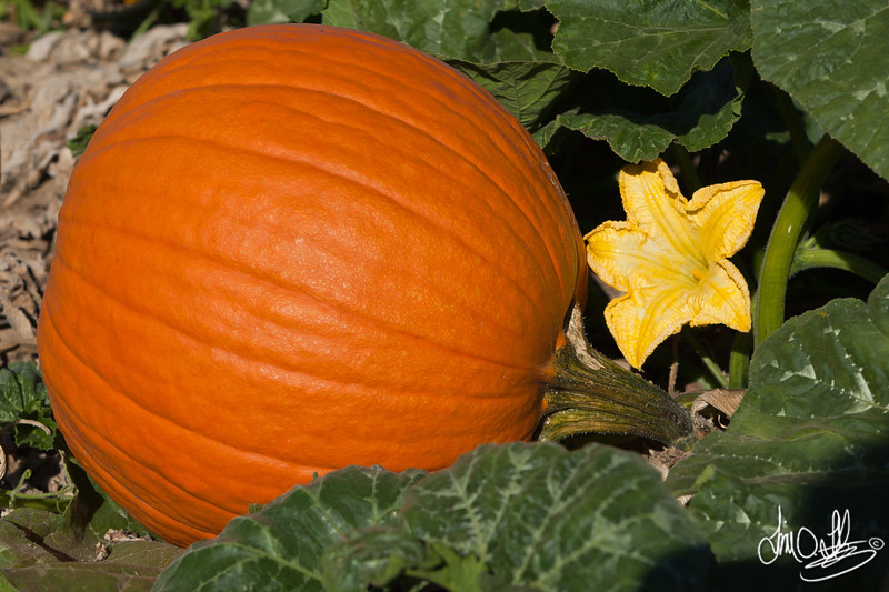 Pumpkin and blossom