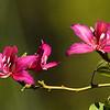 Hong Kong Orchid Tree<br /> Los Angeles Arboretum, Arcadia