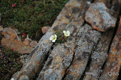 Diapensia On The Rocks