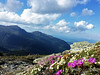 Alpine Flowers Above the Great Gulf