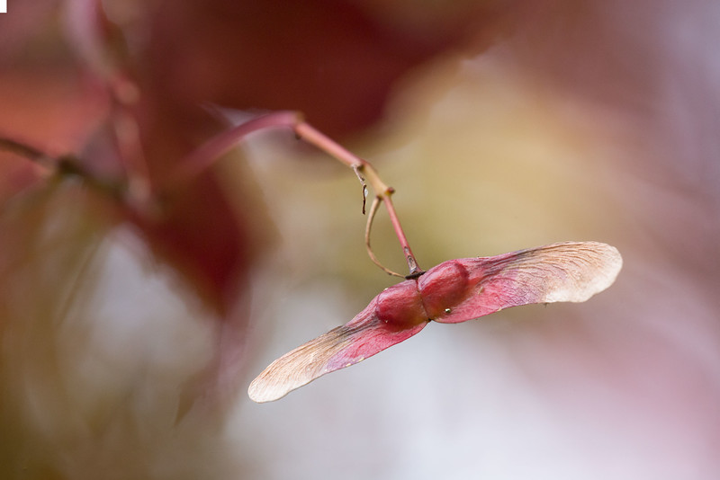 "Acer palmatum ""Osakazuki"""