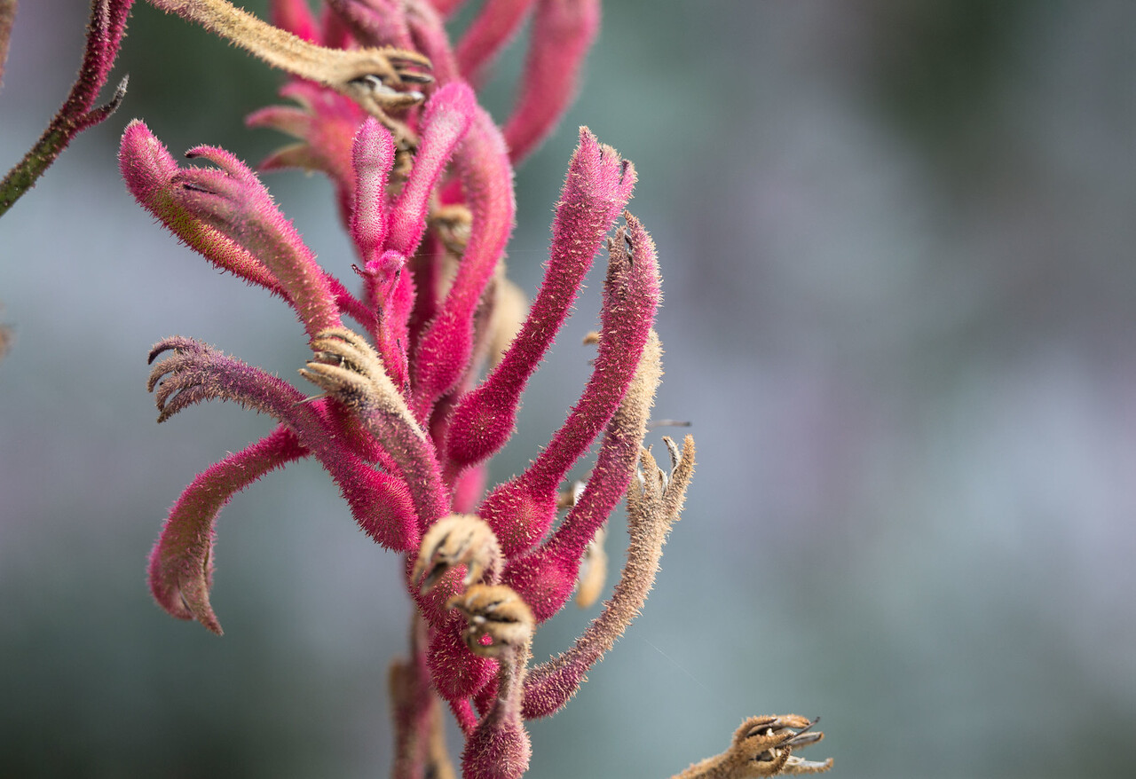Anigozanthos flavidus (Tall Kangaroo Paw)