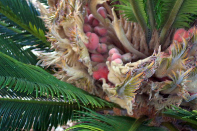 Fruit of the Sago