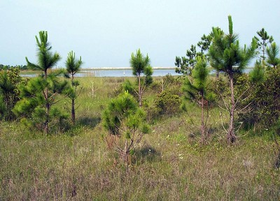 Baby Pines by the beach
