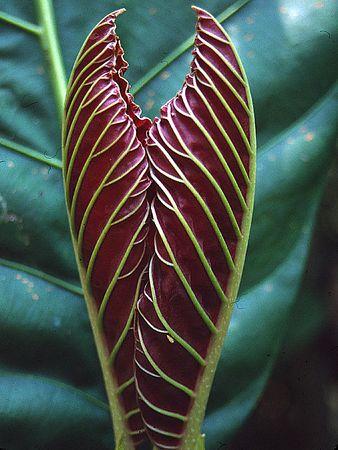 """New Growth""<br /> Costa Rica, La Selva Biological Station"