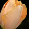 French Tulip