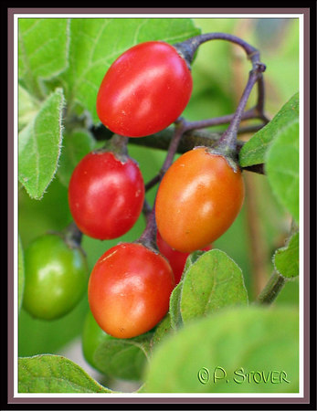 Berries<br /> © Pamela Stover<br /> Exposed Images Photography