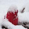Emerging Snow Plant