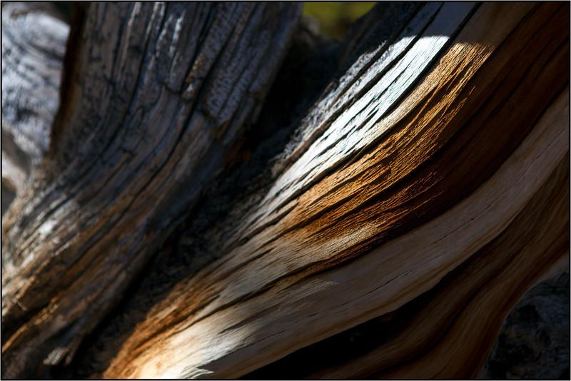 Bristlecone, Provia color film, 2015