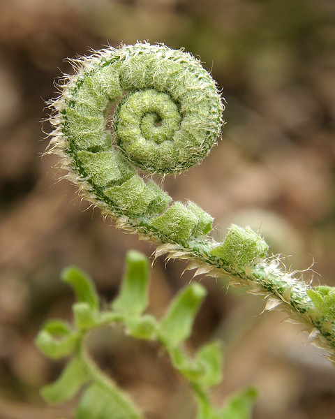 Fiddle Fern in Spring