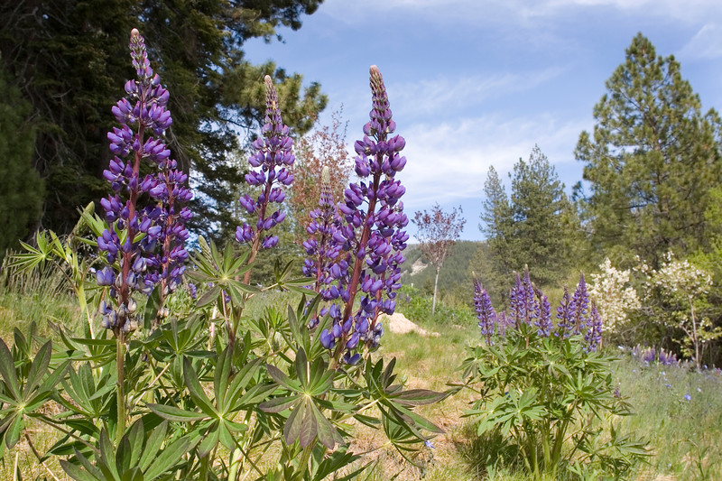 Lupines on a hillside