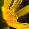 Balsamroot closeup