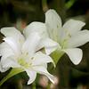 Altamasco Lily