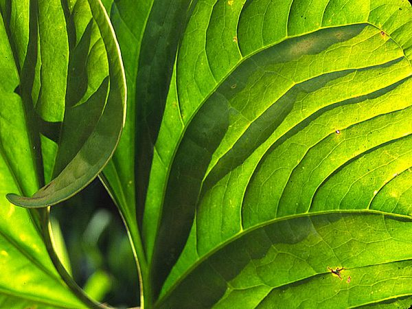 """""""Philodendron Shadows""""<br /> Costa Rica, Las Cruces Biological Station"""