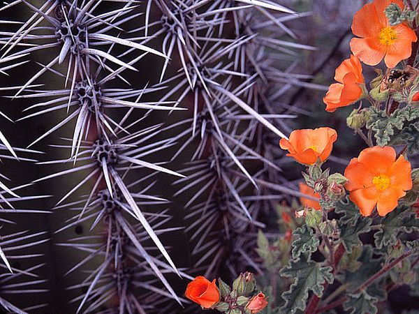 Barrel cactus and scarlet globemallow (<i>Sphaeralcea coccinea</i>) Organ Pipe National Park, AZ, USA