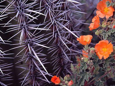 Barrel cactus and scarlet globemallow (Sphaeralcea coccinea) Organ Pipe National Park, AZ, USA