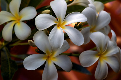 White, Pink and Yellow PlumeriaPlumeria (Frangipani) are one of the most beautiful and fragrant flowers in Hawaii. Plumeria come in a variety of colors, shapes, sizes, and fragrances. They are commonly used as Lei flowers.