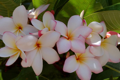 White, Pink and Yellow Plumeria Plumeria (Frangipani) are one of the most beautiful and fragrant flowers in Hawaii. Plumeria come in a variety of colors, shapes, sizes, and fragrances. They are commonly used as Lei flowers.