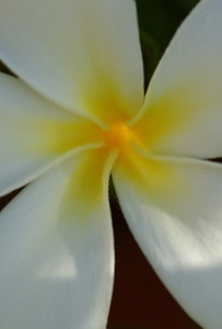 White and Yellow plumeria  Plumeria (Frangipani) are one of the most beautiful and fragrant flowers in Hawaii. Plumeria come in a variety of colors, shapes, sizes, and fragrances. They are commonly used as Lei flowers.