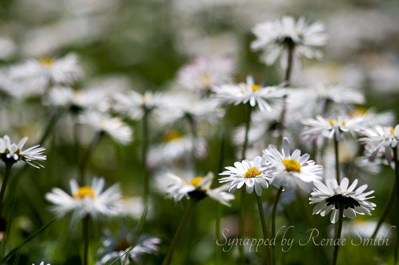Merely Daisies