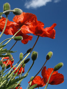 Poppies reaching for sky (Papaver somniferum)