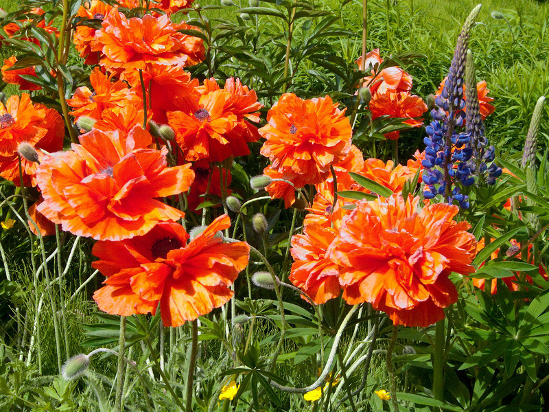 Poppies in a neighbor's yard. They are just beautiful!
