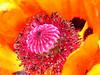 """poppy 31  <a href=\""""http://richardlazzara.spaces.live.com/\"""">richardlazzara.spaces.live.com/</a>"""