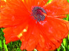 "poppy 92  <a href=""http://www.tabblo.com/studio/stories/view/247850/\"">www.tabblo.com/studio/stories/view/247850/</a>"