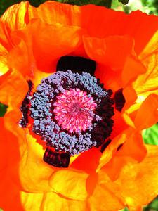 poppy 39  www.gogofrog.com/shankargallery