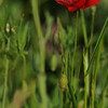 Coquelicots_Morges_24052010_0032