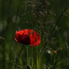 Coquelicots_Morges_24052010_0066