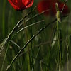 Coquelicots_Morges_24052010_0003