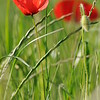 Coquelicots_Morges_24052010_0004