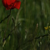 Coquelicots_Morges_24052010_0036