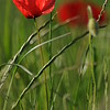 Coquelicots_Morges_24052010_0005