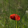 Coquelicots_Morges_24052010_0056