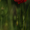 Coquelicots_Morges_24052010_0027