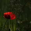 Coquelicots_Morges_24052010_0069