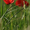 Coquelicots_Morges_24052010_0002