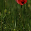 Coquelicots_Morges_24052010_0018