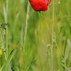 Coquelicots_Morges_24052010_0016