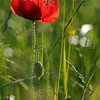 Coquelicots_Morges_24052010_0074