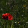 Coquelicots_Morges_24052010_0063