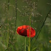 Coquelicots_Morges_24052010_0053