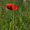 Coquelicots_Morges_24052010_0050